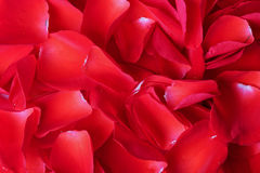 Background from petals of red roses Royalty Free Stock Photos