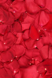 Background from petals of red roses on wedding, Valentine's and Stock Photo
