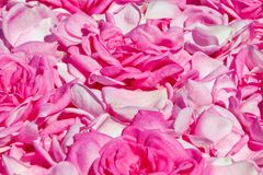 Background from the petals of roses Royalty Free Stock Photos