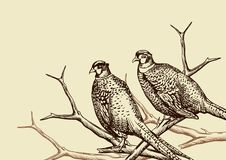 Background with pheasants. Stock Photography