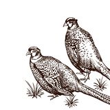 Background with pheasants. Antique engraving illustration with birds royalty free illustration