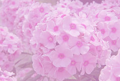 Background phlox blossoms soft Stock Photography