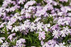 Background of Phlox subulata flowers - Creeping phlox, seasonal Royalty Free Stock Photos
