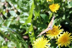 Butterfly collects nectar from a yellow dandelion. Background picture, beautiful, beauty, flower, moth, closeup, bright, dandelion, environment, flora, flowers royalty free stock photo
