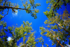 Background picture of green tree and blue sky Royalty Free Stock Photos