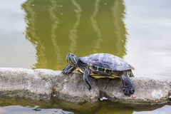 Background picture little turtle crawling through a tube in an artificial lake Royalty Free Stock Images