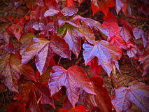 Background picture of maple leaves Stock Photo