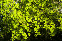 Background picture off green leaves. Background image of green leaves where the sun shines through Royalty Free Stock Photography