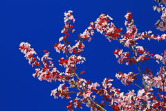 Background Picture of Pink Plum Blossom Stock Photo