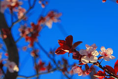Background Picture of Pink Plum Blossom Stock Image