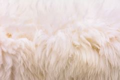 Background picture of a soft fur white carpet. wool sheep fleece closeup texture background,Fake color beige fur fabric. top view. 2019 stock images
