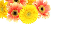 Background picture of Transvaal daisy Royalty Free Stock Photography