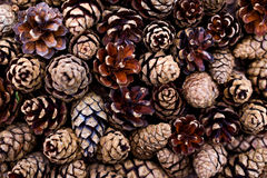 Background of pine cones. Background of opened pine cones close up Stock Photos