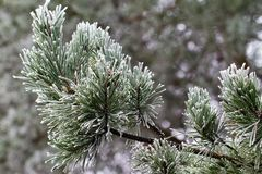 Background from pine iced tree branches with frost Stock Photos