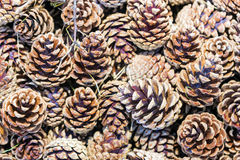 Background of pine pine cones Stock Photos
