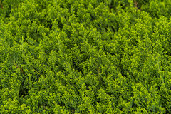 Background of Pine tree branches Horizontal Shot. Background of Pine tree branches, Horizontal Shot Royalty Free Stock Photo