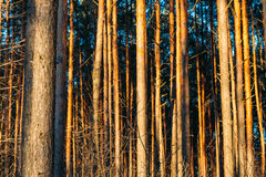 Background Pine Trunks Sunset Sunrise Forest Stock Images