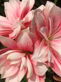Background Pink Amaryllis flowers. stock photo