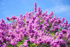 Background of pink blooming lilac branch at botanical garden of Kyiv Stock Images