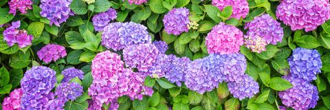 Pink and blue hydrangea flowerbed in a garden. Background of Pink and blue hydrangea flowerbed in a garden Royalty Free Stock Image