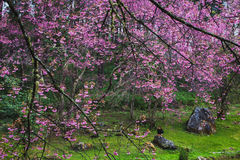 Background. Pink Cherry Blossom in Thailand Royalty Free Stock Photography