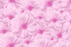 Background pink dahlia flower buds. stock photography