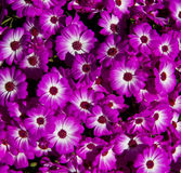 Background of pink daisy Royalty Free Stock Photography