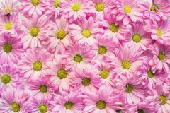 Background of pink daisy flowers