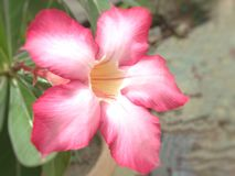 Background. The pink flower background royalty free stock image