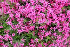 Background of pink flowers carpet. 