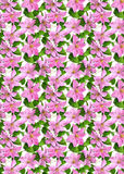 Background_pink_flowers_clematis Royalty-vrije Stock Afbeelding