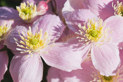 Background of pink flowers of Clematis Stock Photography