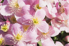Background of pink flowers of Clematis Montana Royalty Free Stock Photo