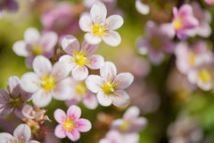 Background of pink flowers Royalty Free Stock Photography
