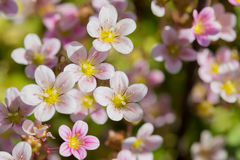 Background from pink flowers Stock Image