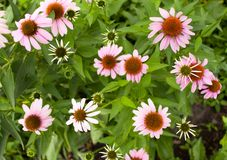 Background of pink flowers in the garden Stock Image