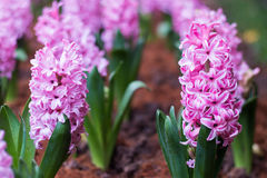 Background pink flowers hyacinths. Background pink flowers hyacinths closeup royalty free stock images
