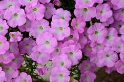 Background of pink flowers. Pink and white blossom texture Background full of small flowers Stock Photos