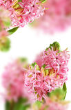 Background from pink hyacinth Royalty Free Stock Photo