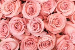Background of pink orange and peach roses. Fresh pink roses. A huge bouquet of flowers. The best gift for women.  royalty free stock photography