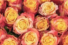 Background of pink and peach roses. Fresh pink roses. A huge bouquet of flowers. The best gift for women.  stock photography