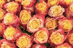 Background of pink and peach roses. Fresh pink roses. A huge bouquet of flowers. The best gift for women. Background.  stock image