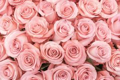 Background of pink and peach roses. Fresh pink roses. A huge bouquet of flowers. The best gift for women. Background of pink orange and peach roses. Fresh pink royalty free stock photos