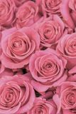 Background of pink and peach roses. Fresh pink roses. A huge bouquet of flowers. The best gift for women. vertical photo.  stock photo