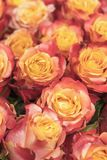 Background of pink and peach roses. Fresh pink roses. A huge bouquet of flowers. The best gift for women. vertical photo.  royalty free stock image