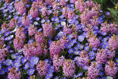 Background of `Pink Pearl` Hyacinth Hyacinthus and Anemones Blanda `Blue Shades` flowers. Stock Photo