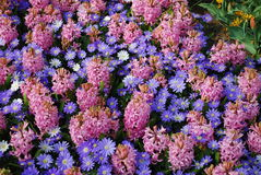 Background of `Pink Pearl` Hyacinth Hyacinthus and Anemones Blanda `Blue Shades` flowers. Stock Photos