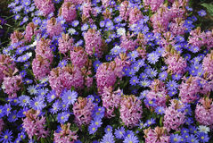Background of `Pink Pearl` Hyacinth Hyacinthus and Anemones Blanda `Blue Shades` flowers. Royalty Free Stock Photography