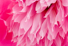 Background with pink peony. Stock Image