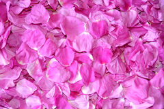 Background from pink petals of a dogrose royalty free stock image